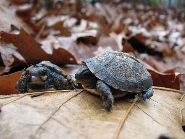 Eastern Box Turtle Hatchlings in The Preserve