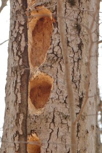 pileated-holes-optimized