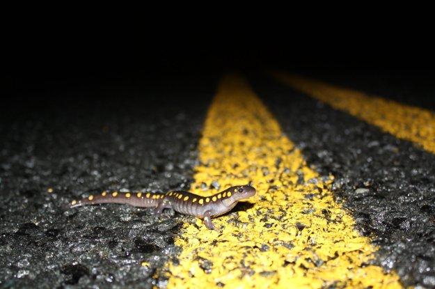 spotted-salamander-f1a2361214967036